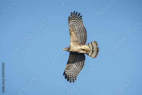 Bird hunter ,Oriental Honey-Buzzard flying on blue sky Wallpaper Mural