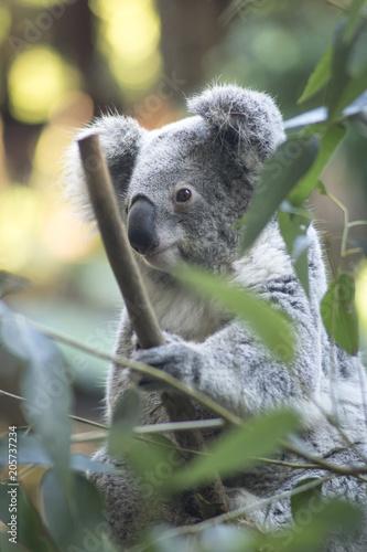 Garden Poster Koala close up little koala with sleepy face sitting on a bamboo tree ranch