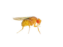 Macro Drosophila Fruit Fly Ins...