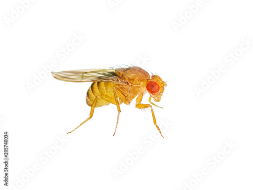 Macro Drosophila Fruit Fly Insect Isolated on White Background