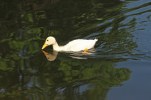 White Duck. Young White Ducks Swimming In The Water In The Lake. Ducklings Swim In The Pond. Baby Of A White Duck. Fauna Wallpaper.