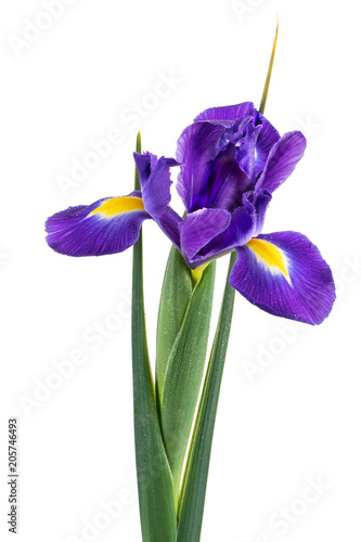 Staande foto Iris Beautiful dark purple iris flower