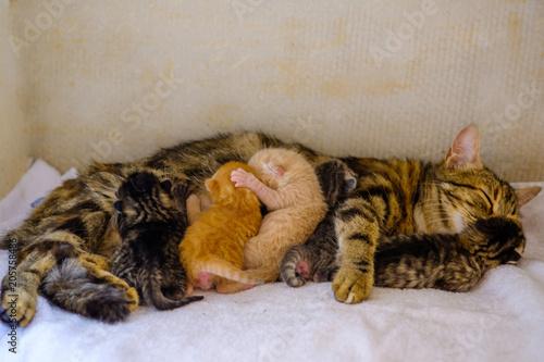 Chat tigré (femelle) qui allaite des chatons nouveau nés. Wallpaper Mural