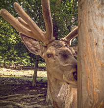 Deer With Fluffy Horns Portrait, Looking Into The Camera From Behind The Pillar