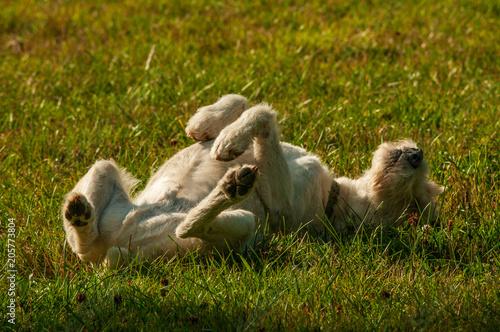 Fotografie, Obraz  jack russel terrier sunbathing