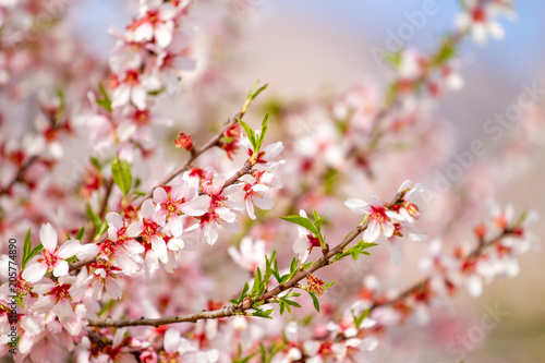 Beautiful almond blossoms on the almont tree branch Poster