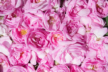 Industrial Cultivation Of Oil Bearing Rose And Rose