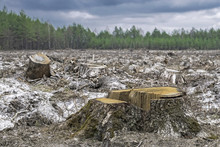 Deforestation. Stump Of Tree After Cutting Forest