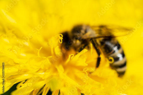 Photo The bee is drinking nectar from a yellow dandelion
