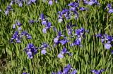 Siberian iris with deep blue ornamental flowers