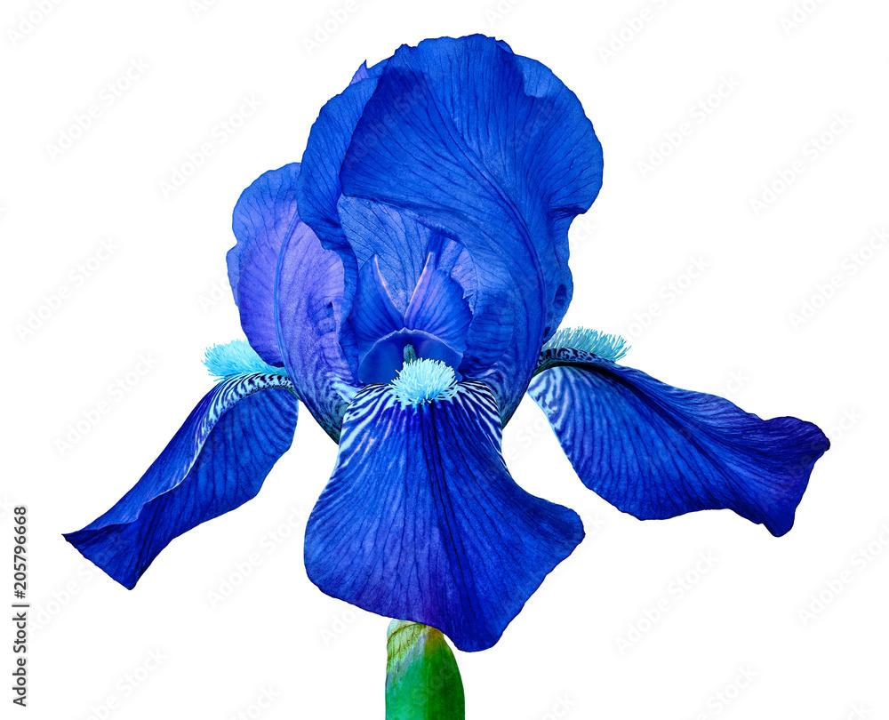 Fototapeta Blue iris flower isolated on a white  background. Close-up. Flower bud on a green stem.