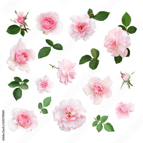 Set of pink rose flower and leaves