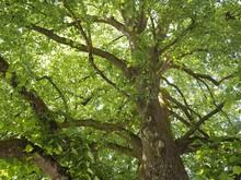 Sauerstoff - Stattlicher Lindenbaum Mit Frischen Blättern Im Frühling