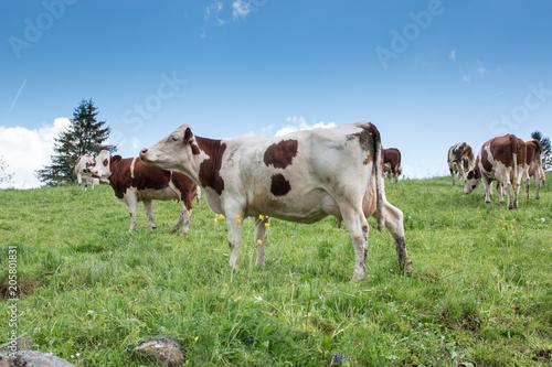 Photo Troupeau de vaches montbéliardes