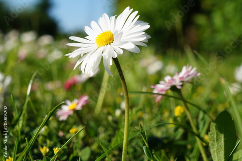 Foto op Canvas Madeliefjes stokrotka , stokrotki ,kwiaty stokrotki