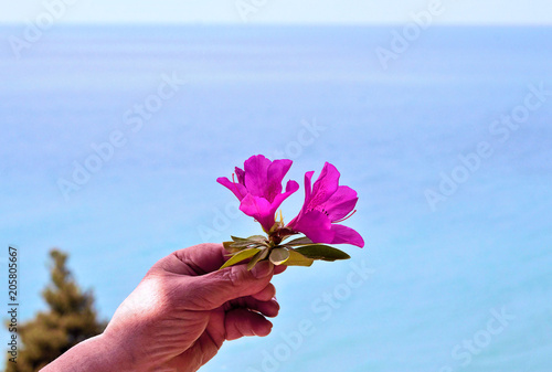 Hello Spring. Azalea (Latin Azalea), one of the most beautiful species of flowering plants of the genus Rhododendron (Rhododendron). A flower in a woman's hand. Against the blue sea and the beach.