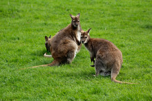 Australian Kangaroos Familyon ...