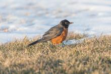 Female North Robin Bird Snow