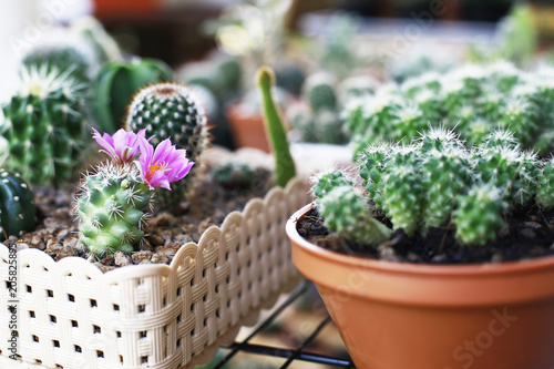cactus and home garden