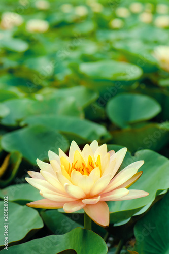 Foto op Canvas Lotusbloem beautiful pink lotus flower in blooming at sunset