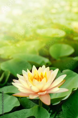 Deurstickers Lotusbloem beautiful pink lotus flower in blooming at sunset