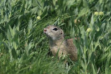 Naklejka na ściany i meble European ground squirrel (Spermophilus citellus) Rana- Czech Republic
