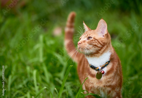 Stampa su Tela Beautiful  young ginger red tabby cat looking at peace in a patch long green gra
