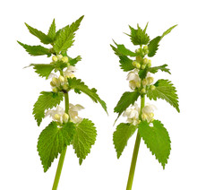 Lamium Album, Commonly Called ...