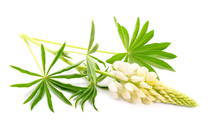 White Lupinus, Commonly Known As Lupin Or Lupine. Isolated