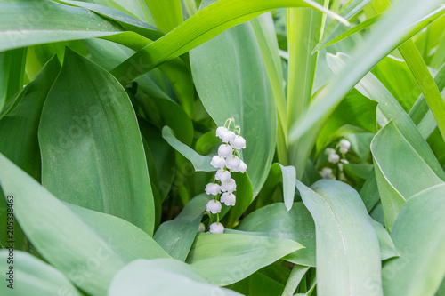 Foto op Canvas Lelietje van dalen Inflorescence of the lily of the valley among of leaves