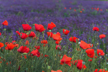 Obraz na SzkleRed poppies on a violet background from salvia