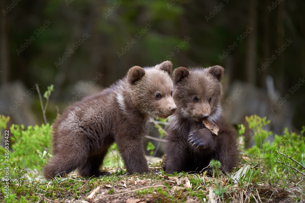 Fototapeta Wild brown bear cub closeup