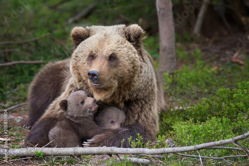 Brown bear with cub in forest Canvas Print