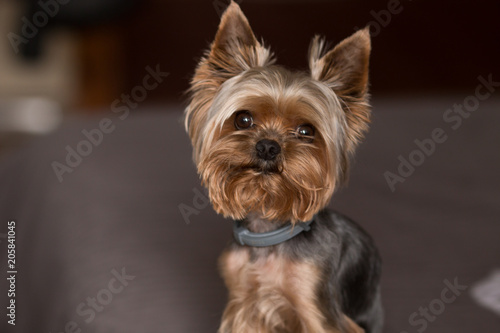Fotografie, Obraz Yorkshire Terrier Dog