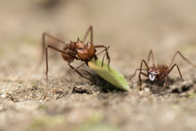 Worker Leafcutter Ant [Atta Ce...