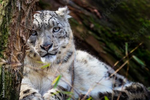 Snow leopard - Irbis (Panthera uncia).