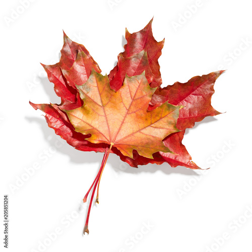 Foto op Canvas Canada Maple leaves isolated on white background