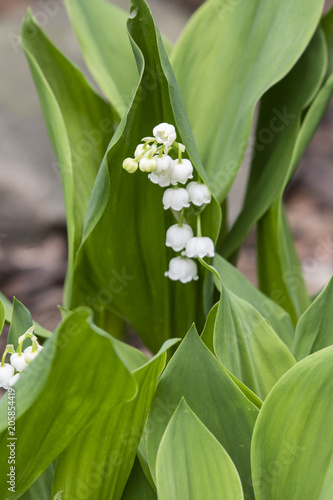 In de dag Lelietje van dalen White flowers of lily of the valley and green leaf.