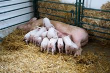 Piglets Suckling Sow