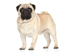 Pug In Stand On White Background