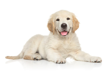 Golden Retriver puppy on white background