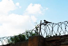 Trees Behind Jail Barbed Wire With Magpie Bird Silhouette On It, Dark Brick Fence, Spring Sunny Landscape With Blue Sky Background