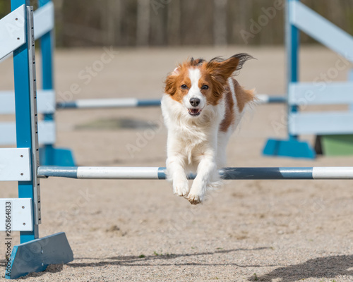 Photo Dog agility in action