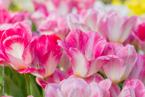 In de dag Candy roze bright blooming field of spring tulips of purple and white color