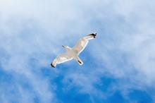 White Seagull Flying Against T...