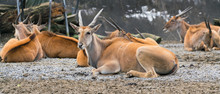 Groupe Of Common Southern Eland Antelope Or Taurotragus Oryx