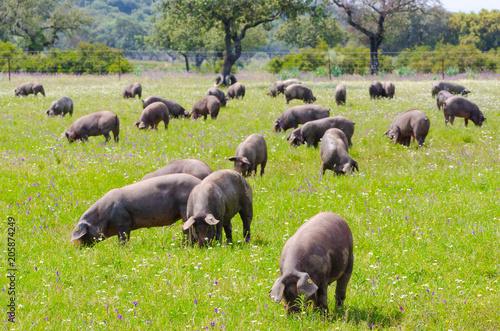 Foto  Pigs graze on farm in countryside of Badajoz, Extremadura.