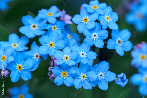 Fotografie, Obraz Background flowers Forget-me-not