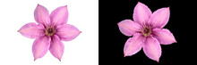 Two Clematis Flowers With Pink Petals, Carved On A White And Black Background.