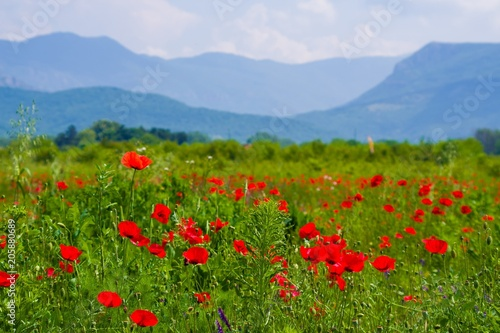 Vibrant poppy field panorama with mountain and white clouds in the background #205880689